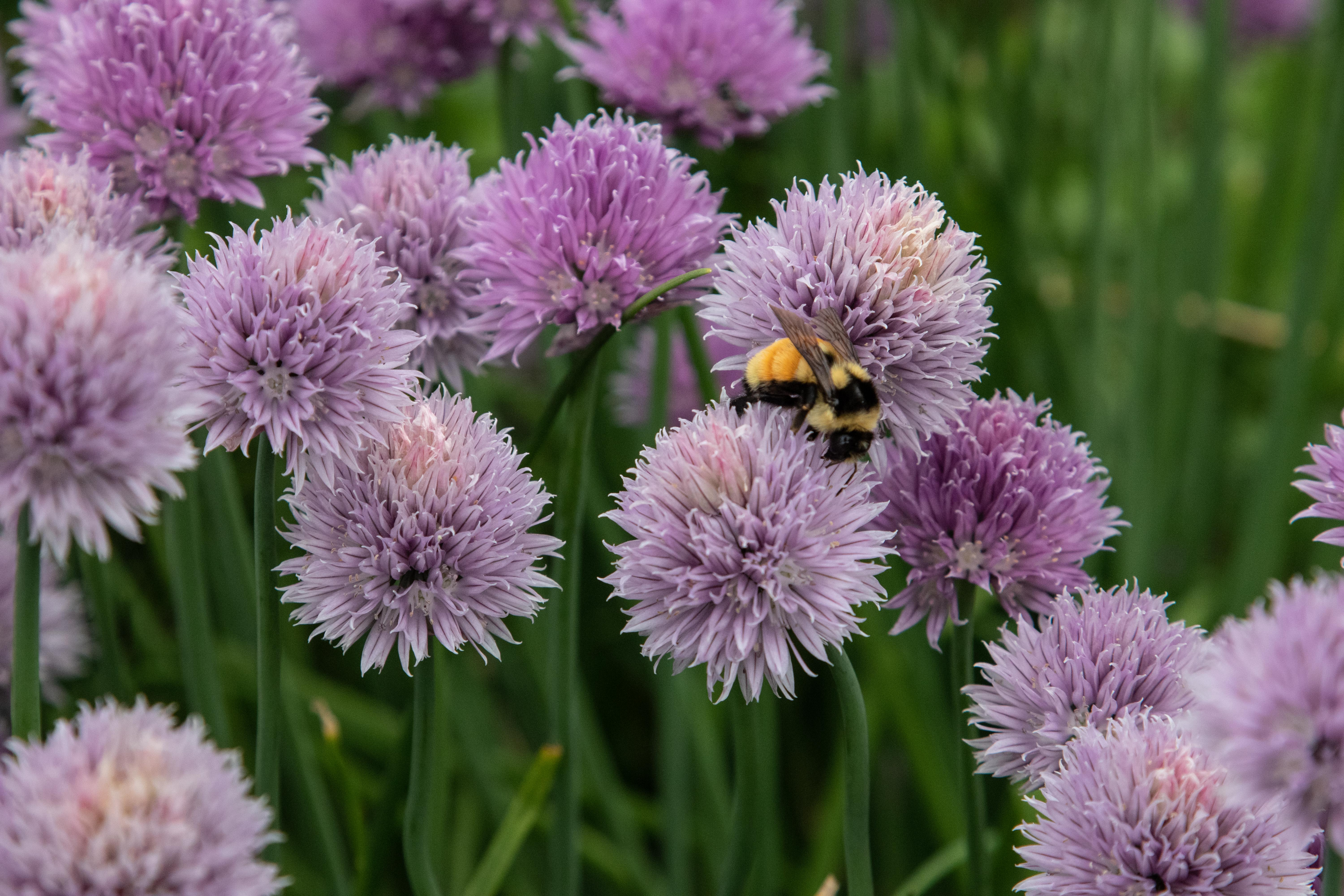 Photo of chives